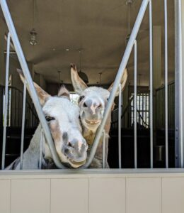 """Jude """"JJ"""" Junior and Truman """"TJ"""" Junior watch all the activity from the back window of their stall. These donkeys are actually stepping on a riser placed right under the opening, so they can see what's happening outside."""