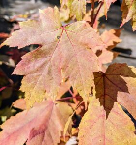 The Autumn Blaze maple will be a gorgeous orange-red later this season. Acer × freemanii, Freeman maple or Freeman's maple, is a naturally occurring hybrid maple that is a cross between Acer rubrum and Acer saccharinum. They can grow as fast as three feet per year under the right conditions.