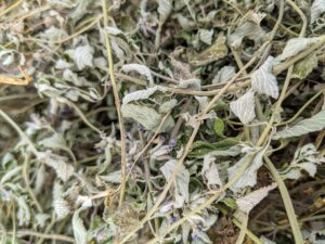 Here's a closeup of the dried catnip. Catnip is indigenous to Europe, Africa, and Asia and is now naturalized throughout the United States.