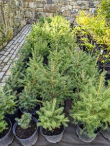 Some of the other trees include these white spruce trees, Picea glauca, a species of spruce native to the northern temperate and boreal forests in North America.
