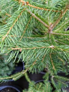 Its needles are four-sided, sharp, and stiff, and are arranged spirally on the twigs - they become pleasant smelling with age.