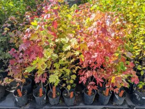 I have several maple varieties in my collection - they are all beginning to change to their beautiful fall colors.