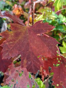 The Autumn Fantasy maple is a popular red maple prized as a shade tree and for its wonderful red fall color.