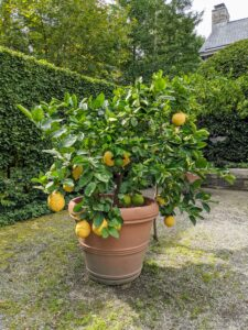 I am so fortunate to be able to grow citrus here in the Northeast - they provide such delicious fruits. This 'Ponderosa' citrus tree produces huge lemons, often up to five-pounds each!