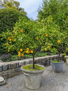 I have many different citrus trees. These fruits are so much more flavorful than store-bought. I love to eat them fresh and share them with friends and family.