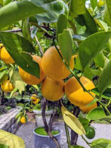 This is Citrus sinensis 'Parson Brown' – known for its cold tolerance, often surviving to the upper teens. The fruit was one of the leading sellers in Florida until around 1920. They're large, very juicy with a mild sweet flavor.