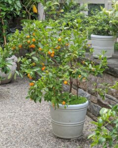 Here is another citrus tree displayed in my Winter House courtyard behind my kitchen – Calamondin, Citrus mitis, is an acid citrus fruit native to the Philippines, Borneo and Sulawesi in Southeast Asia, as well as southern China and Taiwan in East Asia.
