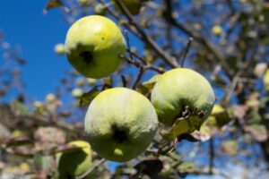 The European quince are green with dense grey-white fine hair, most of which rubs off before maturity in late autumn.