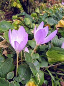 "When the weather is mild, colchicum's nearly perfect cup-shape flowers begin to unfurl. Most Colchicum plants produce their flowers without any foliage. This is why these flowers were first known by the common name ""naked boys."" In the Victorian era, they were also called ""naked ladies."""