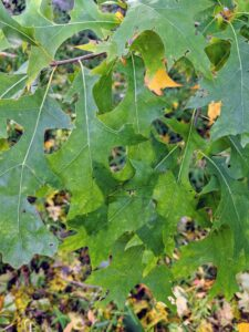 The leaves of the pin oak have deep indentations, making them look skinny. They have about five to seven lobes each and are about six inches long. Pin oak is known for the gorgeous fall color. These leaves are just starting to turn.