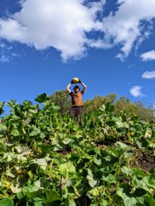 One pile was covered in growing pumpkins. Here's Ryan harvesting what he could before the grinder arrived.