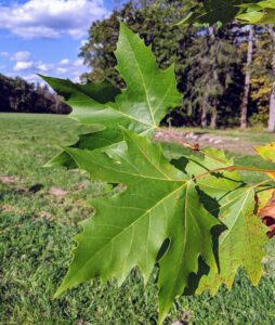 The London plane tree with maple-like leaves grows to roughly 75 to 100 feet with a spread of 60 to 75 feet.