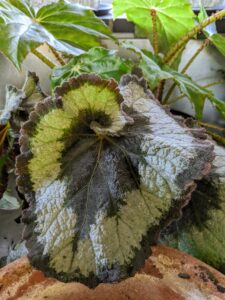 Here is another begonia ready to move into a clay pot. I am always on the lookout for rare and unusual varieties.