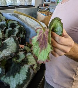 Ryan cuts this leaf from the base of the stem. Because these plants store water in the rhizomes, which are their thick, fuzzy stems, it is important not to overwater them. This leaf is not viable - it will be discarded.
