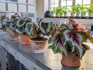 Here are the begonias all potted up in their new containers. It's good to repot or change the soil every couple of years – potting mix elements break down over time and lose draining qualities and airspaces to hold oxygen.