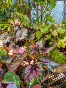 These new begonias are great additions to my growing collection. There is no end to the variety of leaf shape, color and texture in the begonia – what are your favorite cultivars? Share them in the comments below.
