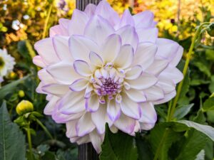 "The majority of dahlia species do not produce scented flowers or cultivars, but they are brightly colored to attract pollinating insects. Dahlias come in a rainbow of colors and even range in size, from the giant 10-inch ""dinnerplate"" blooms to the two-inch lollipop-style pompons. Most varieties grow four to five feet tall."
