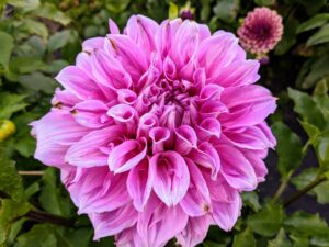 Dahlias are colorful, spiky flowers which generally bloom from midsummer to first frost, when many other plants are past their best.