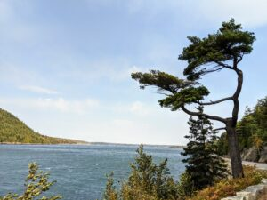 Cheryl captured this image of a tall pine tree on Sargeant Drive along Somes Sound. It lost the top of its main trunk in a past storm, but is still thriving.