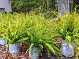 The sword fern plant is a lush evergreen ground cover known for its bright green, sword-shaped fronds. It prefers light to deep shade, but will do well in full sun if watered regularly in summer.
