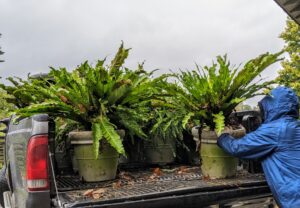 Here, Phurba unloads a collection of bird's nest ferns, Asplenium nidus, which also need to be pruned and stored for the winter.