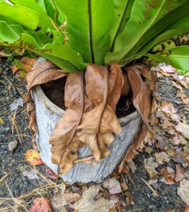 Here are the old leaves of the bird's nest fern. They don't need a lot of pruning - they maintain their own shape and size. However, it is a good idea to remove the brown leaves from the outside of the plant down at the plant's base. It will keep the plant looking neat and tidy.