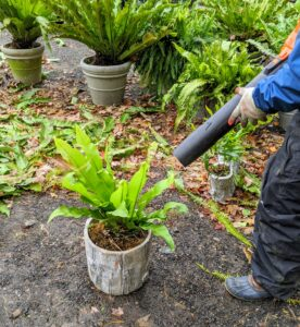 Using a battery powered leaf blower, Phurba gently blows around the fern to remove any debris.