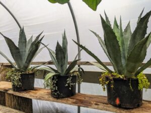 Blue agave plants lend themselves well to container growing since their roots do not mind being crowded.