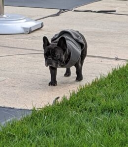 Here is Bete Noire walking over to check out the action. Bete Noire is called a brindle French Bulldog. Brindling mixes black hairs with brown or fawn. Brindle-colored dogs look a bit like canine tigers.