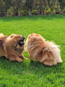 He and Qin (pronounced chin) also enjoy wrestling with each other. This is all safe dog play behavior.