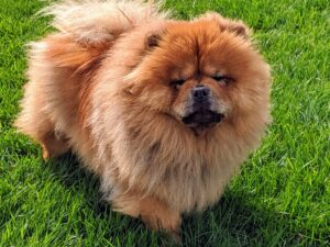 Chows should be sturdy and squarely built. Its body should be compact, and heavy boned. Empress Qin is already a Champion show dog – she is a beautiful Chow. I know Han will also do very well in the show ring.