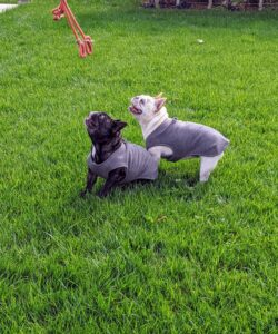The French Bulldog is a small, active, and muscular dog with heavy bone and smooth coat.