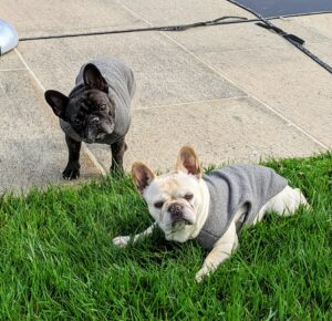 Are you getting tired, Bete Noire and Creme Brulee? The bright, affectionate Frenchie is a very charming breed. They don't bark much, but their alertness makes them excellent watchdogs and great companions.