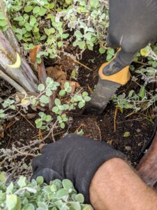 Next, Ryan removes the Helichrysum petiolare, which is planted around the base of the palm.
