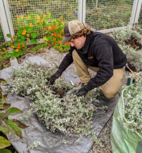 Ryan inspects the licorice plants and trims off any dead foliage.
