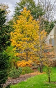 This is a beautiful American larch, Larix laricina, standing out in the pinetum with its stunning autumn gold color. It is commonly called tamarack, eastern larch, American larch or hackmatack.