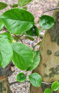 The leaves of these trees are alternately arranged and simple - each about two to four inches long.