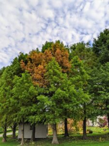 """Along one side of my carriage road across from the long pergola is a stand of bald cypress trees, Taxodium distichum. This section is always the first to turn in autumn. Bald cypress trees are deciduous conifers that shed their needlelike leaves in the fall. In fact, they get the name """"bald"""" cypress because they drop their leaves so early in the season. Their fall colors are tan, cinnamon, and fiery orange."""