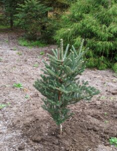 "And this is a Horstmann's Silberlocke Korean fir. It is an attractive evergreen tree that looks like a ""flocked"" Christmas tree. This rare conifer is known for its soft, curly, two-tone needles that are dark green on one side and frosty white on the other."