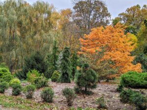 The pinetum is filled with many different shapes and sizes of evergreens. The bright orange of the tall autumn larch stands out on the right. My flowing weeping willows are on the left.