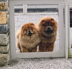 Empress Qin and Emperor Han are my two Chow Chows. They are half siblings and both grand-dogs of my late Champion G.K. The Chow Chow is an ancient breed of northern Chinese origin. As an all-purpose dog of China, it was used for hunting, herding, pulling, and protection.