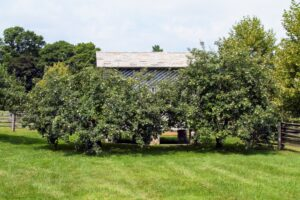 These are two quince trees that I brought here from my garden at Turkey Hill in Westport, Connecticut. They are now located at one end of my soccer lawn next to this corn crib. I also have quince trees in my orchard and behind my flower garden.