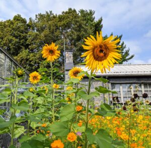In one corner, we also have a group of sunflowers. Sunflowers commonly bloom during summer and a portion of fall.