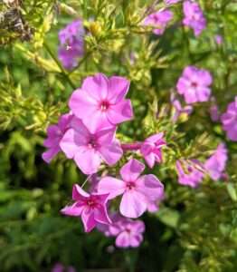 And there's still some phlox blooming in my garden. Phlox 'Robert Poore' is magenta in color with superb heat and mildew resistance. This is a tall and upright grower that's great for the back of a border, or even planted at the edge of a garden among shrubs.