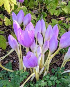 The scientific name comes from Colchis, a region on the coast of the Black Sea. The name Colchicum alludes to the poisonous qualities of the species. The plant contains an alkaloid known as colchicine, which is found in all parts, but mostly in the seeds. Colchicum typically blooms from September to November. Here are some flowers just beginning to open.