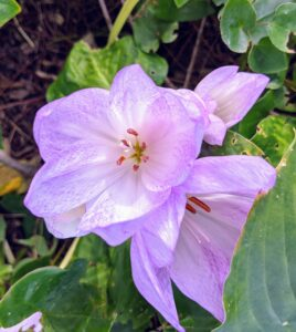 Colchicum is a member of the botanical family Colchicaceae and is native to West Asia, Europe, parts of the Mediterranean coast, down the East African coast to South Africa and the Western Cape.