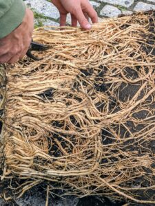 Brian scarifies the root ball, or slices through the roots, in several areas to encourage root growth. It may seem harsh, but the plant will send out new feeder roots and should soon recover.