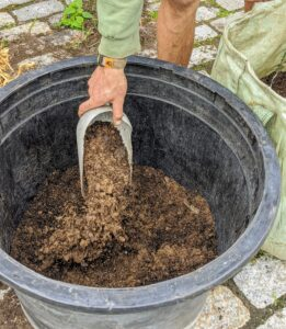 Cycads like a good draining soil. Be sure the soil medium includes elements such as peat moss, perlite, and a little sand.