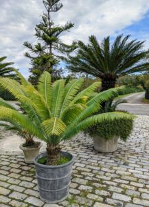 I have many, many cycads. The sago palm, Cycas revoluta, is a popular houseplant known for its feathery foliage and ease of care. Native to the southern islands of Japan, the sago palm goes by several common names, including Japanese palm, funeral palm, king sago or just plain sago palm.