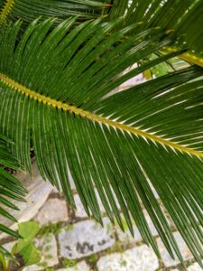 The pinnate leaves are typically about four to five feet long at maturity, and nine-inches wide, reaching their greatest length when grown in partial shade.